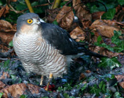 Sparrowhawk in Dry Drayton